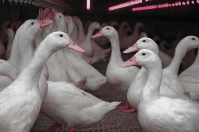 Утки: фото, описание, лучшие породы