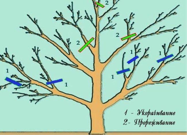 Пошаговая инструкция весенней обрезки яблонь