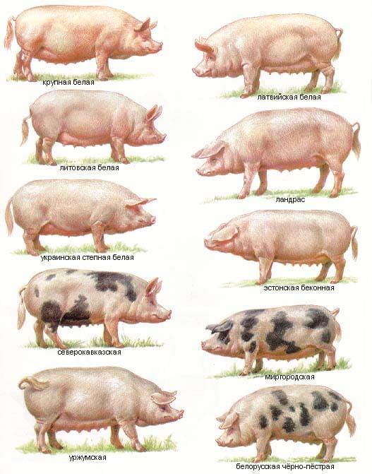 Свиноводство: породы свиней, особенности разведения и ухода