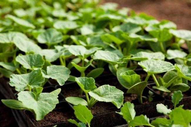 Кабачки: выращивание от рассады до урожая