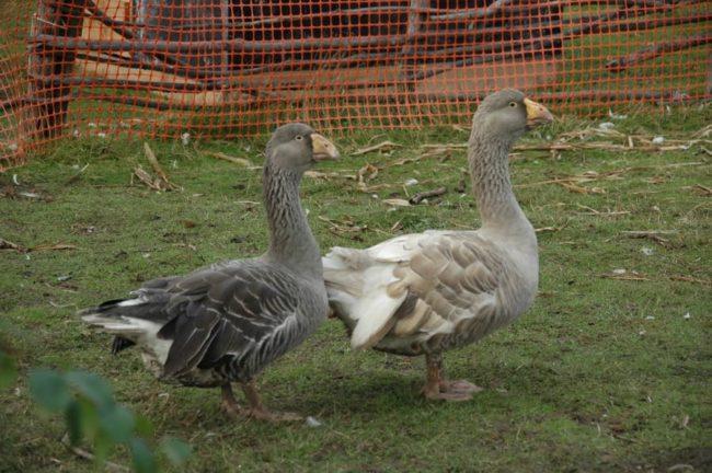 Порода гусей: тульские
