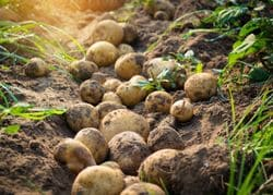 Схема подкормки картофеля — уход и выращивание