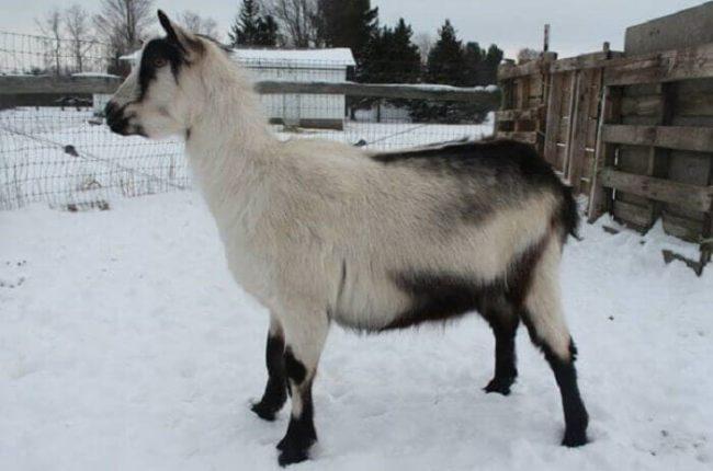 Альпийская молочная коза – разведение, содержание и уход
