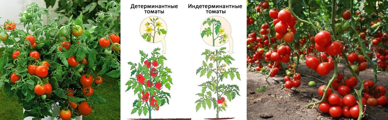 сорта среднерослых томатов для теплиц