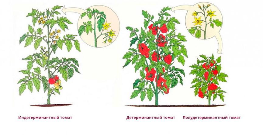 Индетерминантный сорт томатов