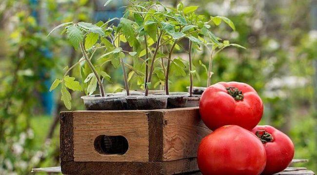 Рассада помидор: подготовка семян, посадка, уход за растениями