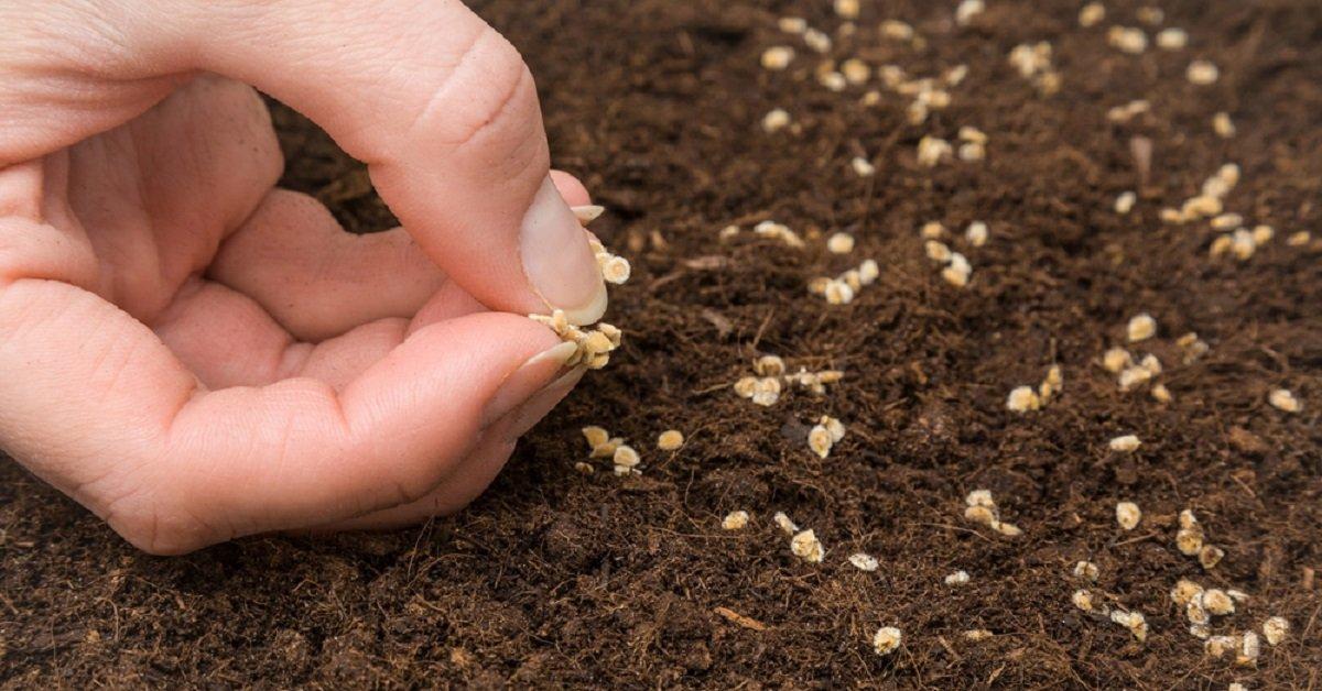 сколько всходят семена люцерны