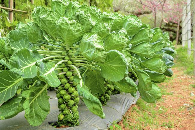 Посев и принципы выращивания брюссельской капусты