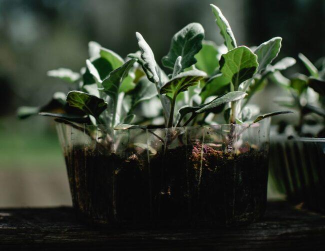 Проращивание семян капусты