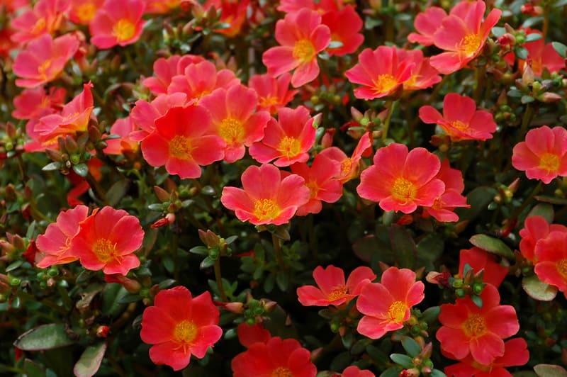 портулак фото цветов рассада когда сажать и как ухаживать если каждый