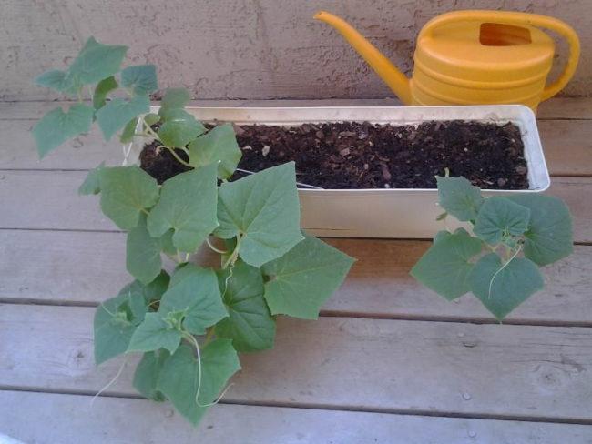 Чем подкормить огурцы, растущие на подоконнике
