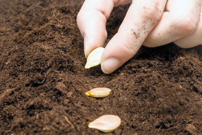 Когда сажать кабачки на рассаду: сроки посева и высадки на грядку