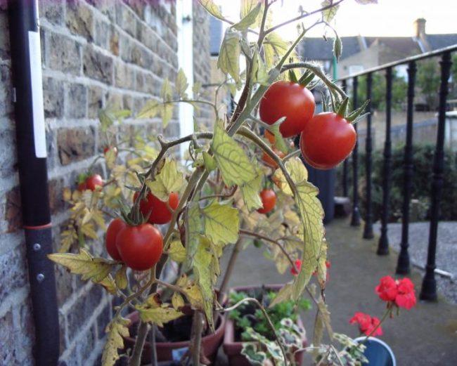 Как выращивать помидоры на балконе?
