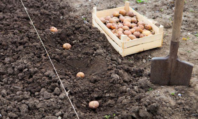 Как правильно делать лунки для картошки?