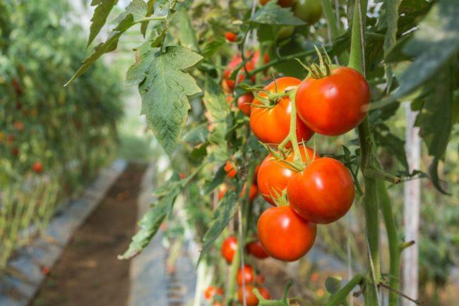 Ранние сорта помидор для выращивания в теплице и открытом грунте