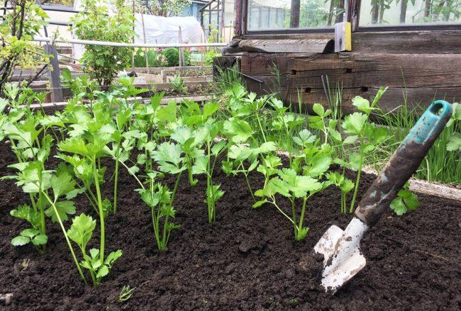 Посев корневого сельдерея на рассаду - особенности выращивания и ухода