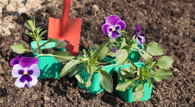 Виола: посадка семян на рассаду, уход, пересадка