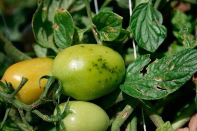 Болезни томатов и их лечение