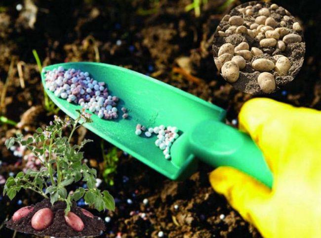 Сорта раннего картофеля - описание, особенности выращивания