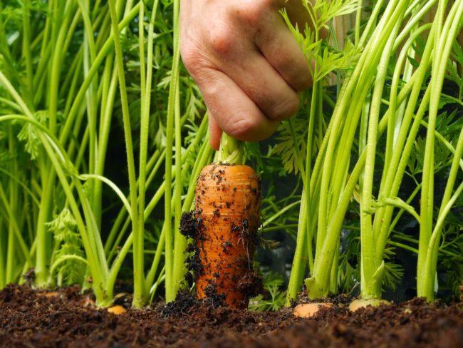 Выращивание морковки в открытом грунте