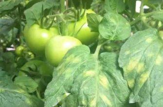 Причины изменения цвета листьев томатов