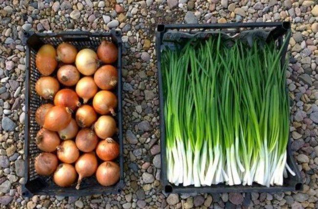 Посадка лука на зелень: посадка, выращивание, сбор урожая