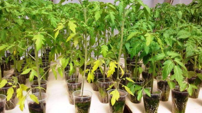 Что делать, если у рассады томатов начали сохнуть и желтеть листья?