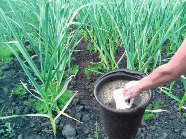 Чем стимулировать рост чеснока посаженного в весенний период