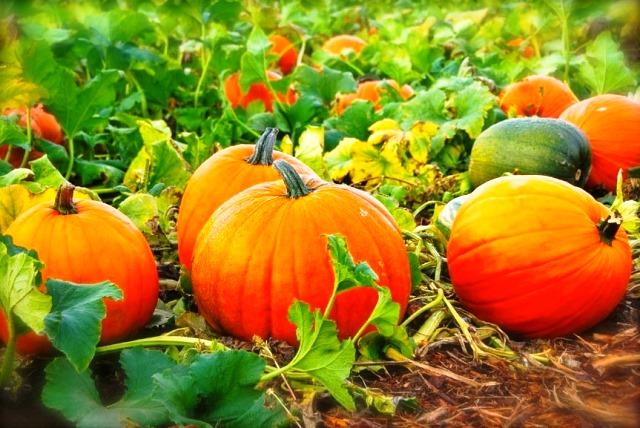 Когда сажать тыкву: сроки посева для южных и северных районов