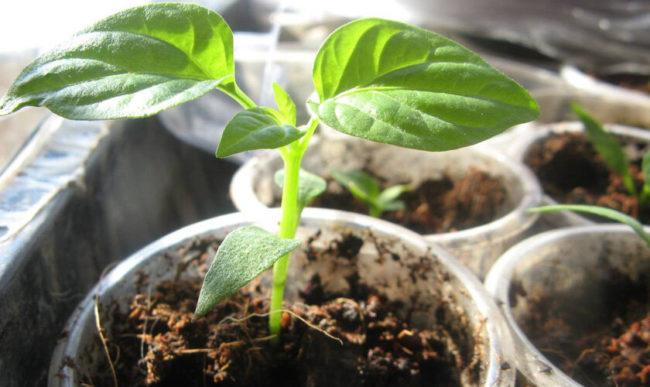 Рассада перца: тонкости посева, ухода, пикировки