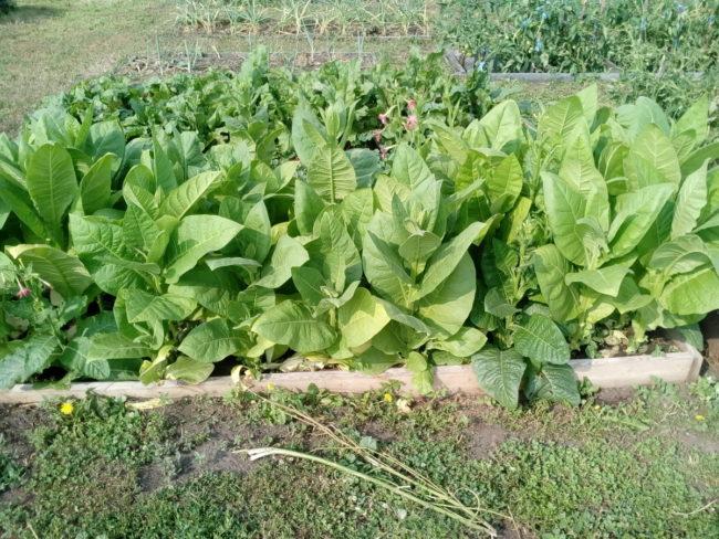 Посадка табака на рассаду, уход и выращивание культуры