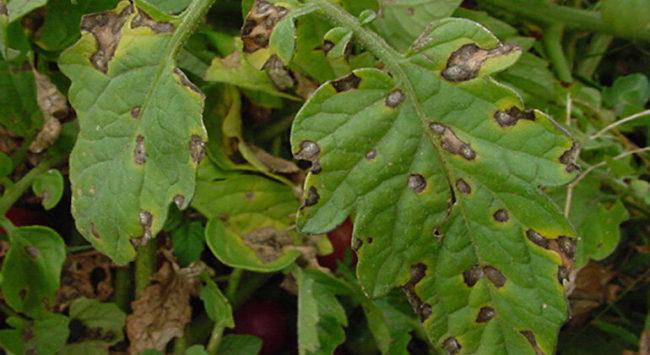 Белые пятна на рассаде томатов - причины, методы борьбы и профилактика
