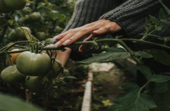 Что сажать после помидор