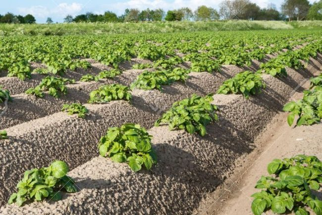 Выращивание картофеля, правильный уход за ним