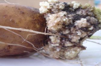 болезнь рак картофеля