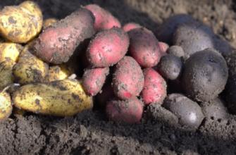 Сорта картофеля: цвет кожуры клубней