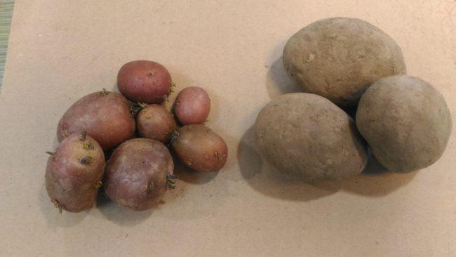 Семенной картофель