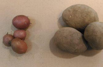Семенной картофель мини - клубни