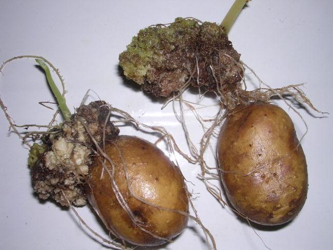 Рак картофеля на клубнях