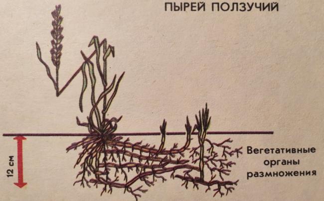 размножение пырея корневищем