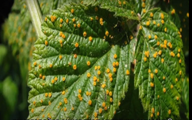 болезнь малины: ржавчина