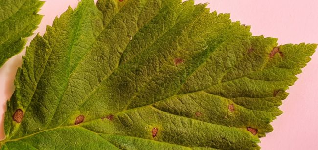 Болезни малины: септориоз