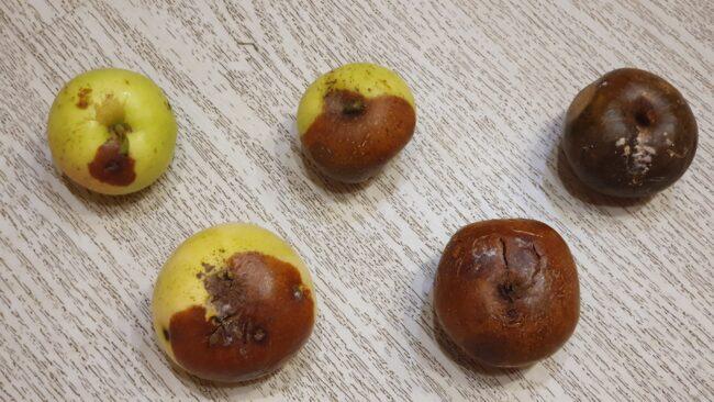 Стадии развития монилиоза на яблоках при хранении