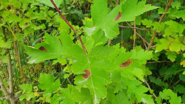 Листья боярышника, поврежденные боярышниковой кружковой молью