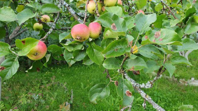 Листья яблони, поврежденные боярышниковой кружковой молью