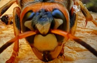Голова взрослого шершня