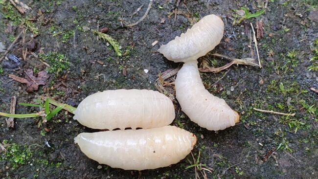 Личинки шершня