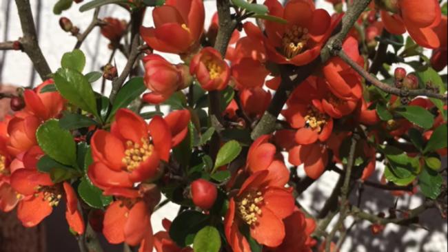 Айва японская- описание, уход, сорта, фото и рецепты