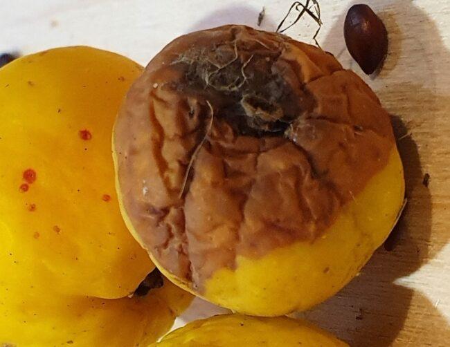 Монилиоз на плодах японской айвы