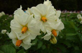 цветы нового сорта картофеля